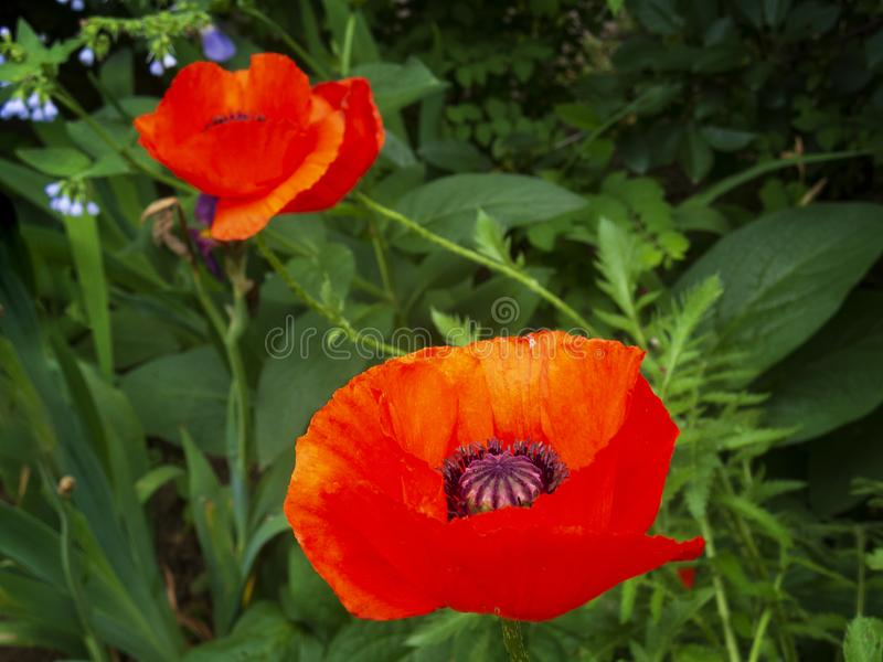 Colorful red poppies royalty free stock photo