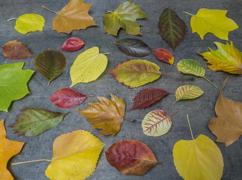colorful red yellow and green fallen autumn leaves on grunge gray background seasonal pattern royalty free stock photos