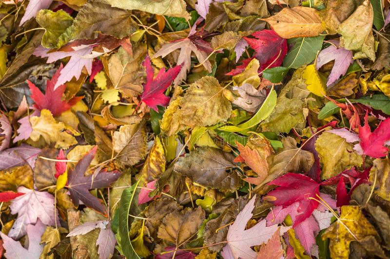 Colorful Red, Yellow And Orange Autumn Leaves Pattern On Ground. stock image