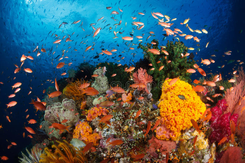 Colorful reef,Raja ampat,Indonesia royalty free stock images