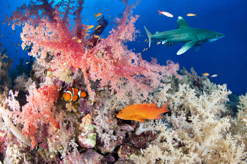 Colorful reef with shark and grouper. Red Sea, Egypt stock image
