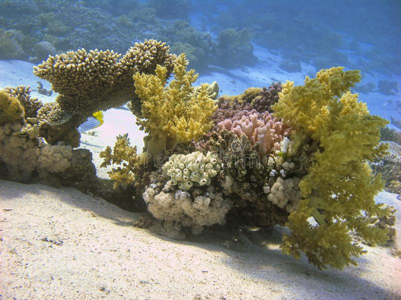 Colorful Reef with Soft Corals Underwater. Soft Corals Underwater at Dive Site Gabr el Bint in Dahab, Egypt stock image