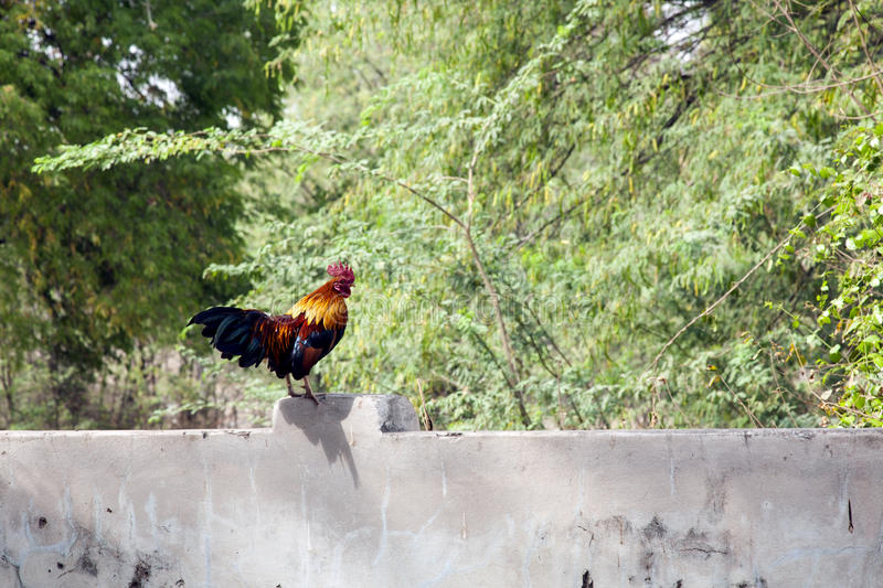 Download Colorful Rooster stock image. Image of asia, roosters - 30147139