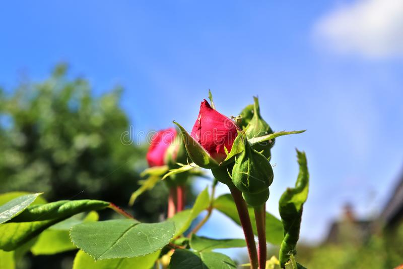 Colorful rose blossom in a high detail close up view. Found in germany stock images