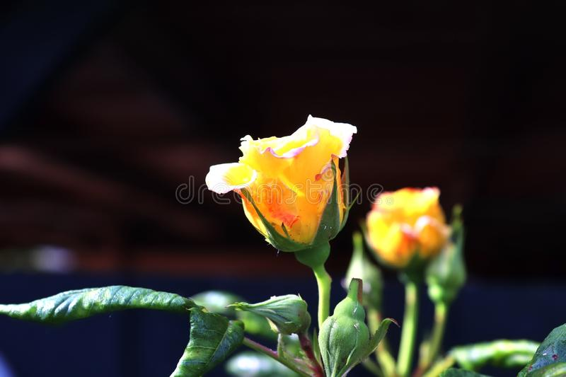 Colorful rose blossom in a high detail close up view. Found in germany stock photos