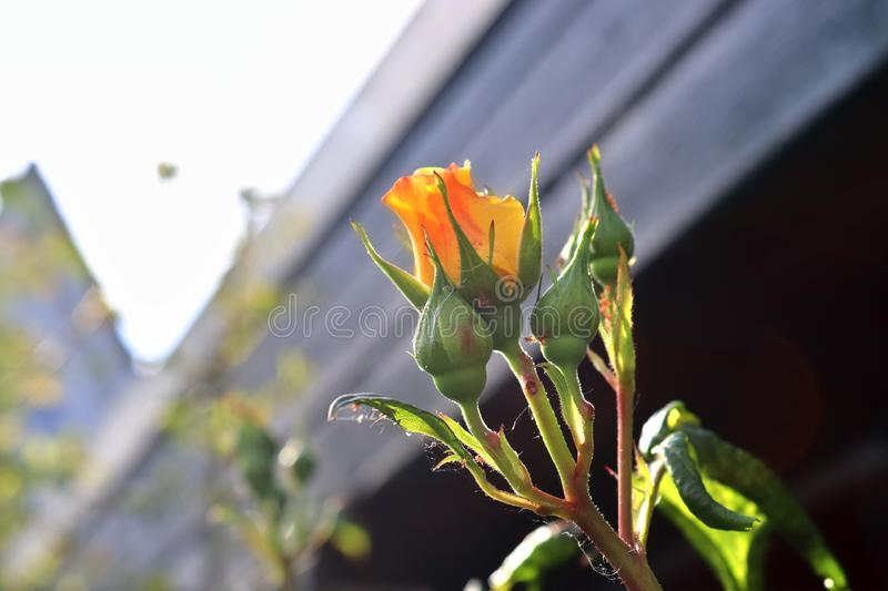 Colorful rose blossom in a high detail close up view. Found in germany royalty free stock photo