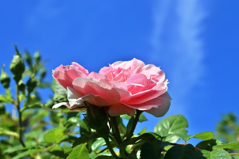 Colorful rose blossom in a high detail close up view. Found in germany stock photography