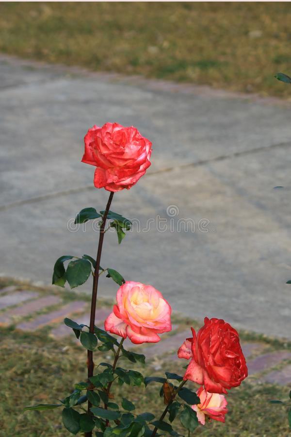Colorful rose  flowers besides walking track stock photo