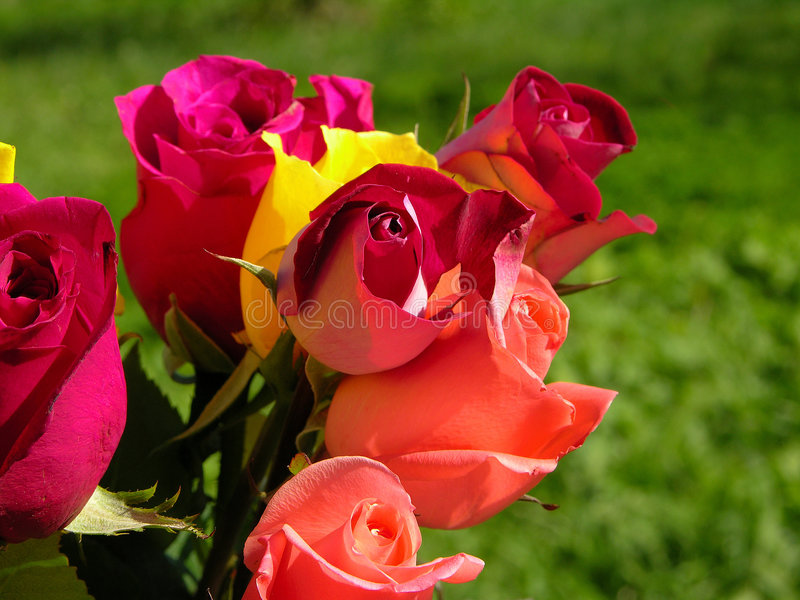 Colorful Roses stock photography