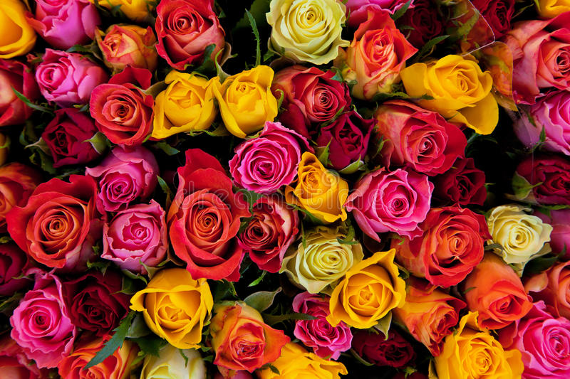 Colorful roses background royalty free stock image