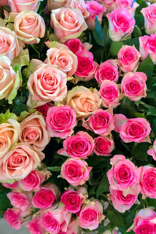 Colorful roses background. Beautiful, high quality, good for holidays. close-up of colorful assorted roses on white background. Multicored wedding roses: a mix royalty free stock photo