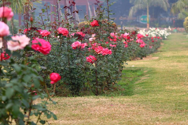 Colorful Roses in National Rose Garden, New Delhi, India. Colorful roses in full bloom in National Rose Garden during the winter season in New Delhi, India royalty free stock images