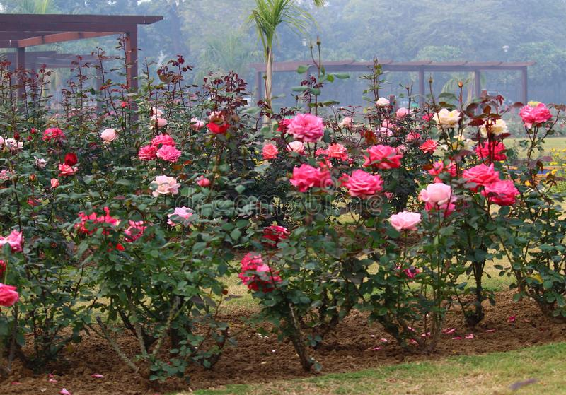 Colorful Roses in National Rose Garden, New Delhi, India. Colorful roses in full bloom in National Rose Garden during the winter season in New Delhi, India royalty free stock image