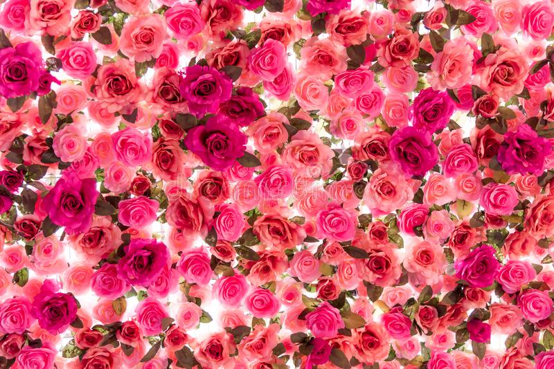 Colorful of roses isolated on white background. royalty free stock images