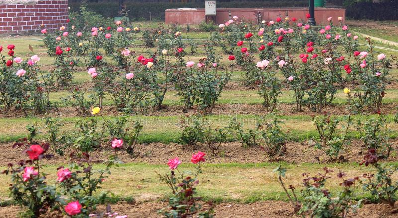 Colorful Roses in National Rose Garden, New Delhi, India. Colorful roses in full bloom in National Rose Garden during the winter season in New Delhi, India royalty free stock photos