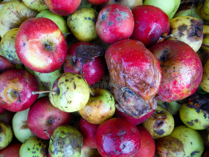 Colorful rotten apples. Image of a various colorful wet Rotten apples stock photo