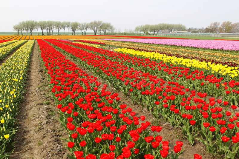 Colorful rows of tulips royalty free stock images