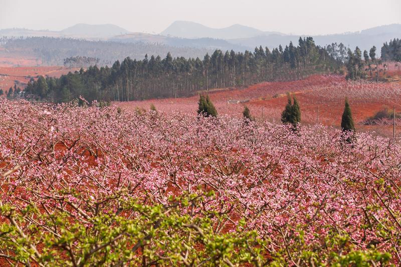 Colorful rural landscape of Dongchuan, South China. Red land and blooming Peach cherry in the branches of trees, pink flowers in royalty free stock photo