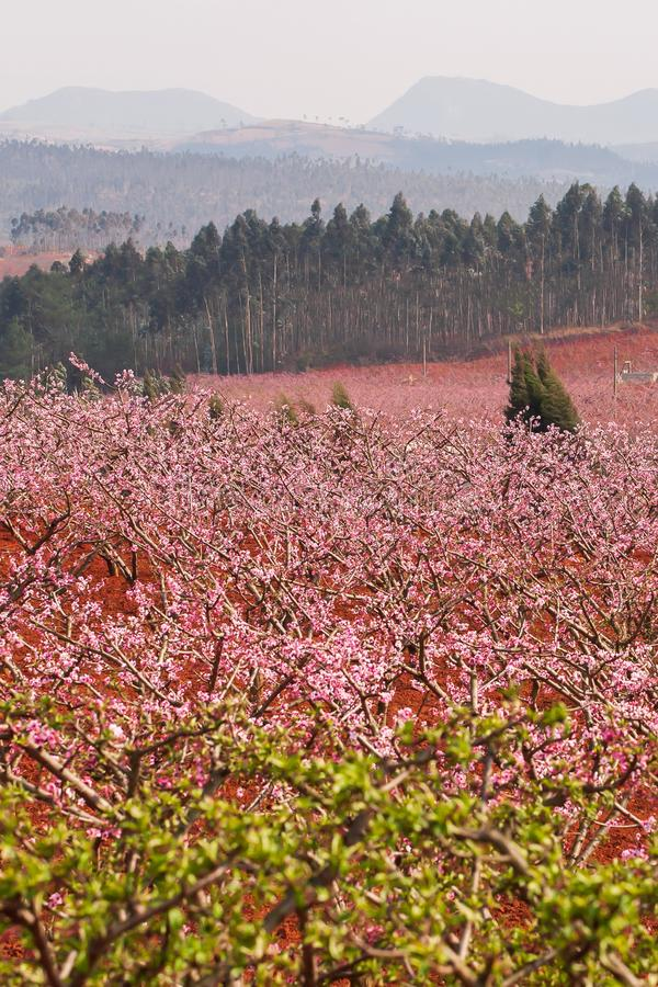 Colorful rural landscape of Dongchuan, South China. Red land and blooming Peach cherry in the branches of trees, pink flowers in stock images