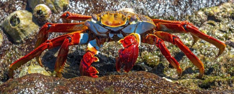 Colorful Sally Lightfoot Crab, Galapagos Islands, Ecuador. A colorful Sally Lightfoot Crab Grapsus Grapsus posing by the seashore next to seashells on Santa Cruz royalty free stock photo