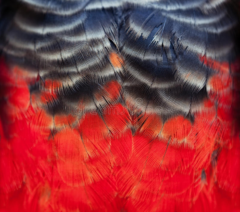 Colorful scarlet macaw bird feathers background. Colorful scarlet macaw bird`s feathers with red yellow orange and blackshades, exotic nature background and stock image