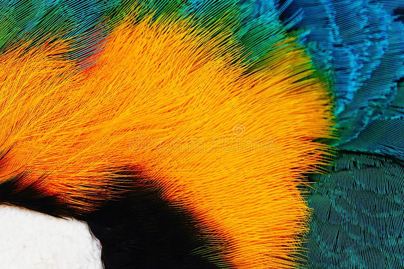 Colorful of Scarlet macaw bird`s feathers with red yellow orange and blue shades, exotic nature background and texture stock photo