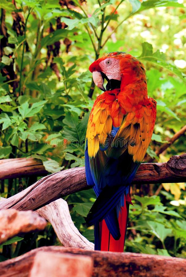 Colorful scarlet macaw royalty free stock photos