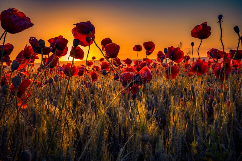 Colorful scene of lots of poppies at sunrise growing in a field stock images