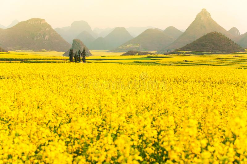 Colorful scenery of mustard fields on springtime, blooming yellow mustard flowers in the valley at sunrise stock photos