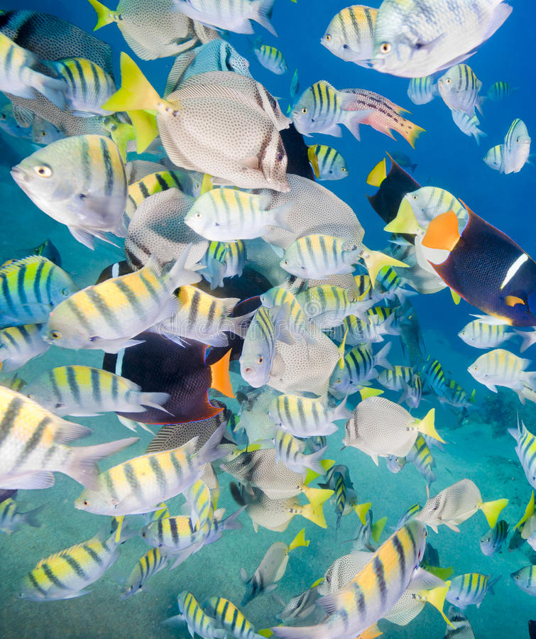Colorful School Of Fish Royalty Free Stock Photography