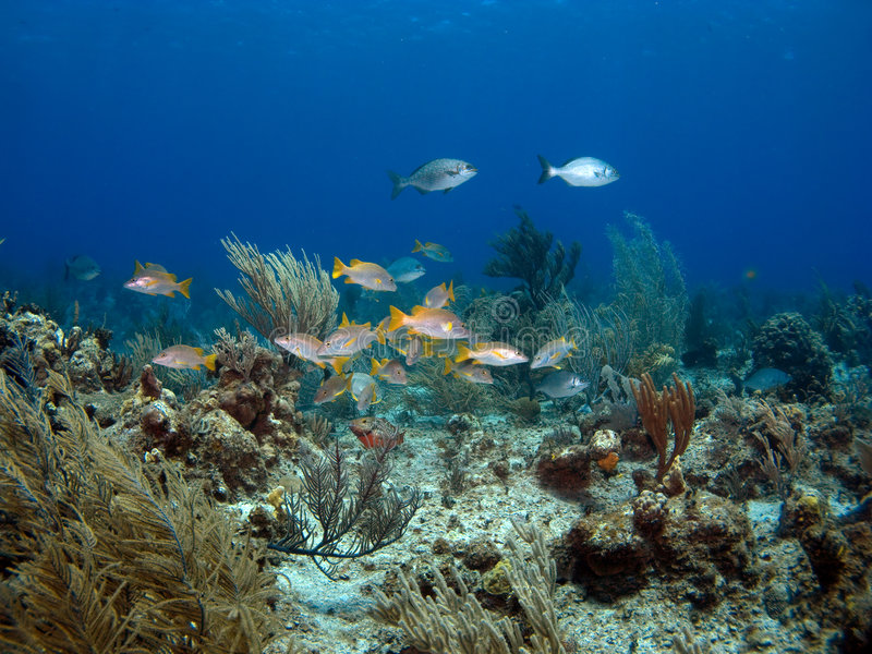 Colorful School of Fish. On a Cayman Island Reef stock image
