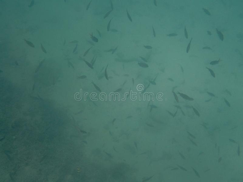 A colorful school of tropical fish on the coral reef in the Oman royalty free stock images