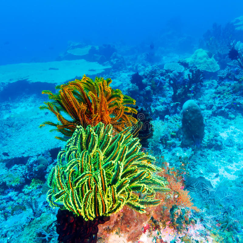 Colorful Sea Lilies on Coral Tropical Reef royalty free stock image