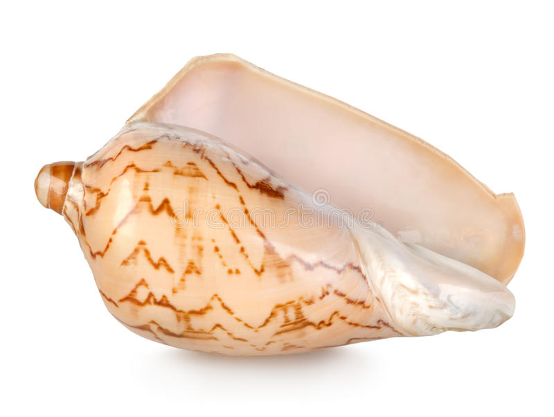 Colorful sea shell on a white royalty free stock photos