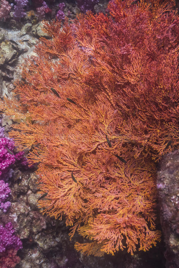 Colorful seafan at Lipe island royalty free stock photography