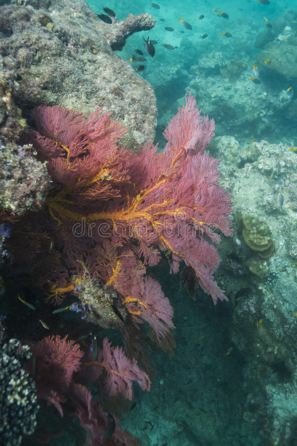 Colorful seafan at Lipe island stock images
