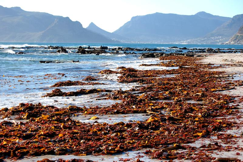 Colorful seaweed on the sand at the beach in Cape Town South Africa. Water, ocean, sealife, table royalty free stock photo
