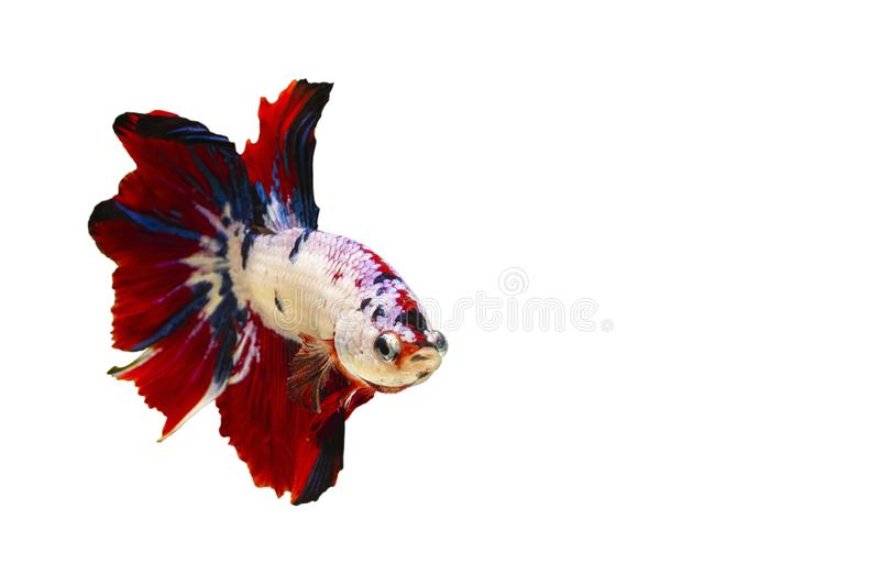 Colorful Siamese  fighting fish or betta fish isolated on white  background with clipping path and copy space.  royalty free stock image