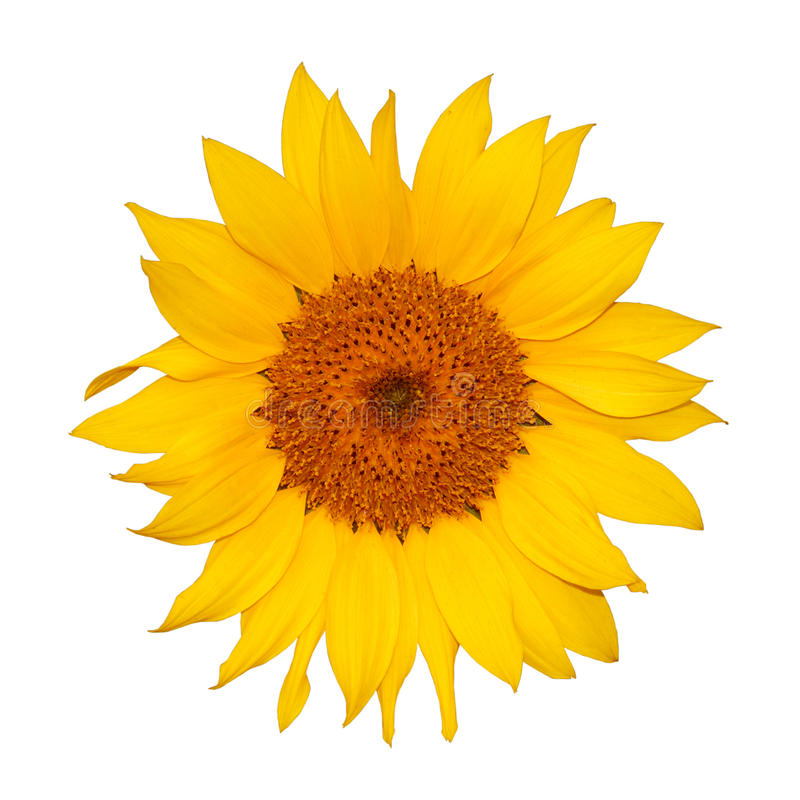 Download Colorful single sunflower stock image. Image of flora - 12274795