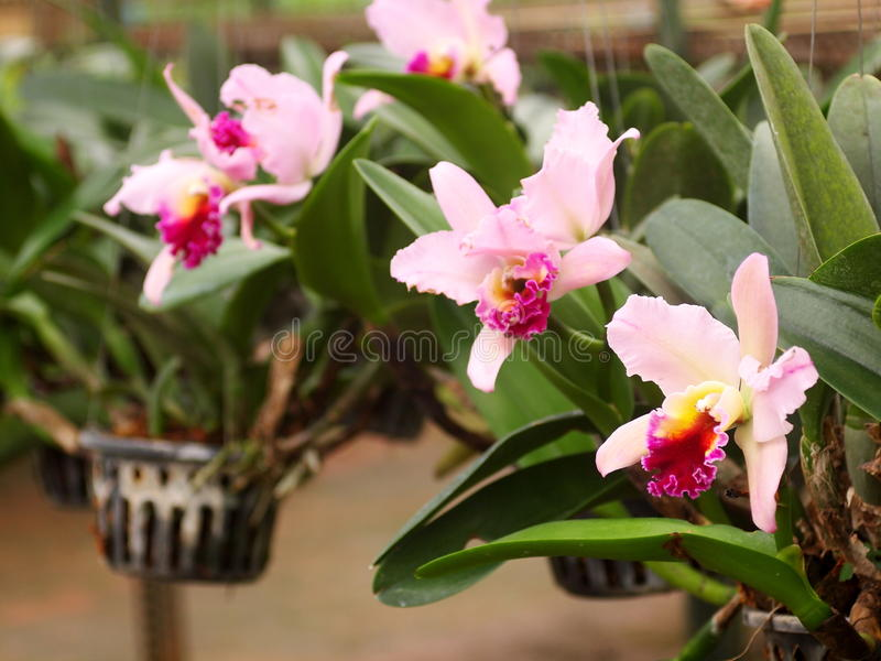 Colorful soft large pink purple orchid flower in large farm factory, plant nursery. Mass production orchids flowers on a hanging pot selective focus with stock photos