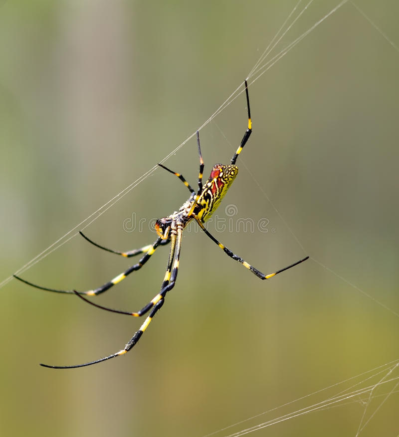 Free Colorful Spider Royalty Free Stock Image - 16789056