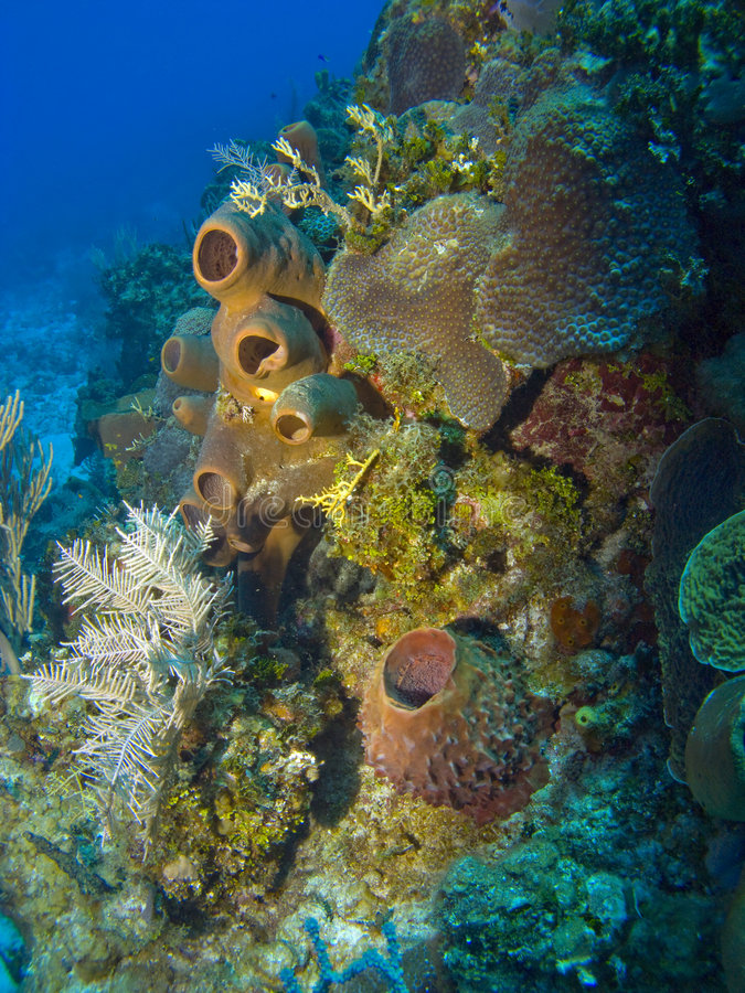 Colorful Sponges on a Cayman Island Reef. Colorful Sponges and Corals on a Cayman Island Reef royalty free stock images