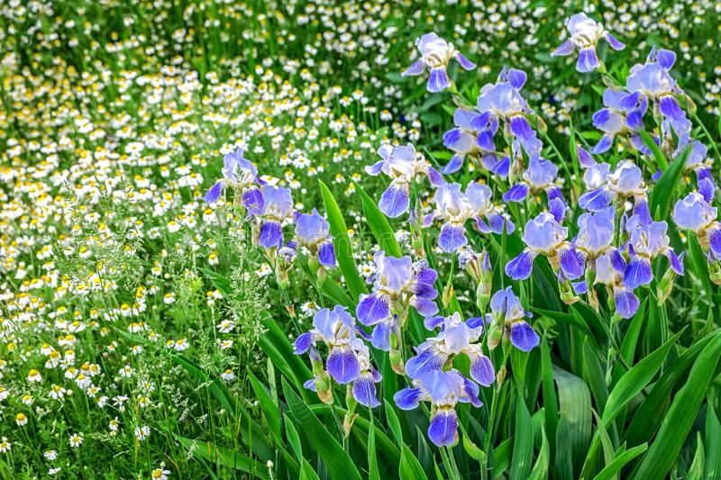 Colorful spring bloom of irises and chamomile stock images