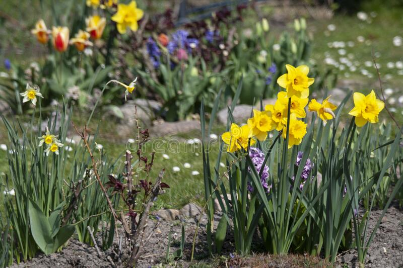 Colorful spring flowers in a flower bed stock photography