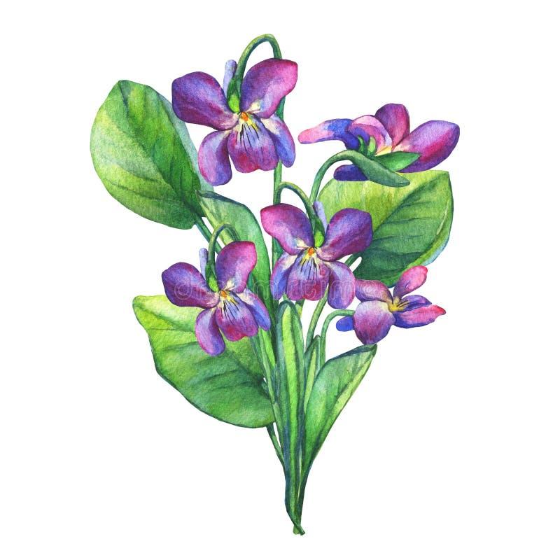 Colorful spring flowers Fragrant violets English Sweet Violets, Viola odorata. vector illustration