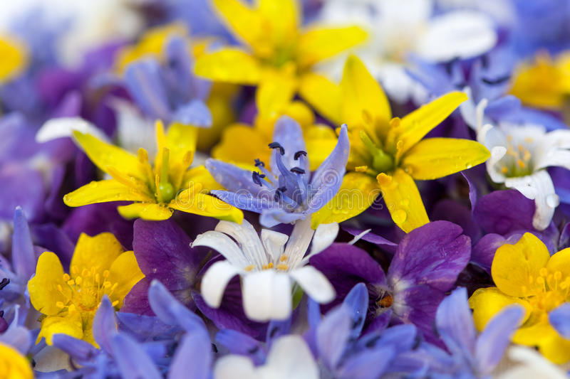 Colorful spring flowers. With violas stock images