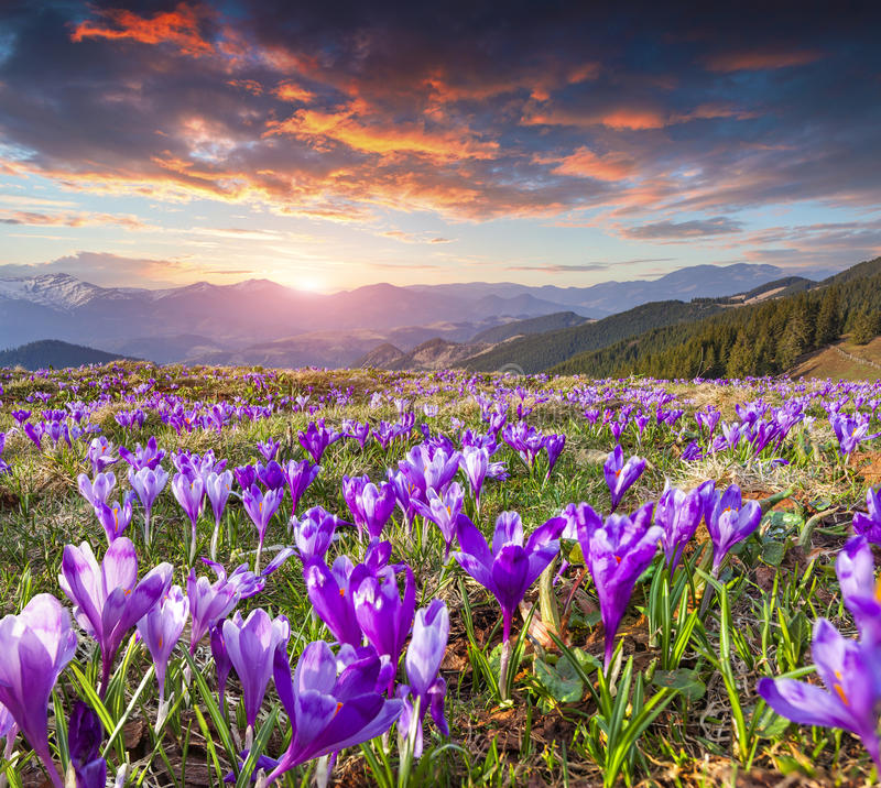 Colorful spring sunrise with field of blossom of crocuses in mou royalty free stock photos