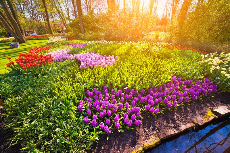 Colorful spring sunrise in Keukenhof gardens. Blooming hyacinth flowers in Netherlands, Europe. Beauty of nature concept background. Artistic style post royalty free stock photography