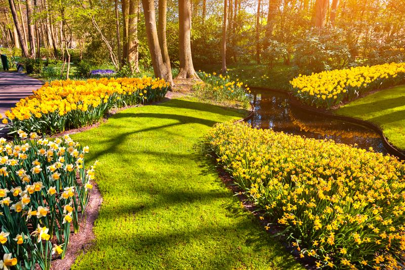Colorful spring sunrise in Keukenhof gardens. Blooming narcissus flowers in Netherlands, Europe. Beauty of nature concept background. Artistic style post stock images