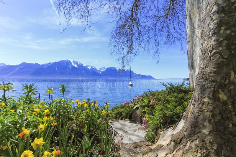 Colorful springtime flowers at Geneva lake and Alps mountains in stock photo